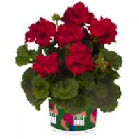 Dark Red Geranium