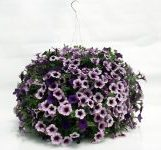 SOLD OUT - Bordeaux Supertunia